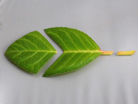Лист глоксини, листовой черенок глоксинии