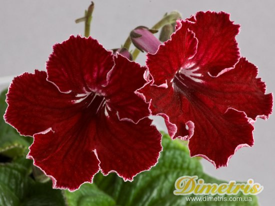 Selected Dimetris varieties DS-Scarlet Sails (Dimetris, 2009)