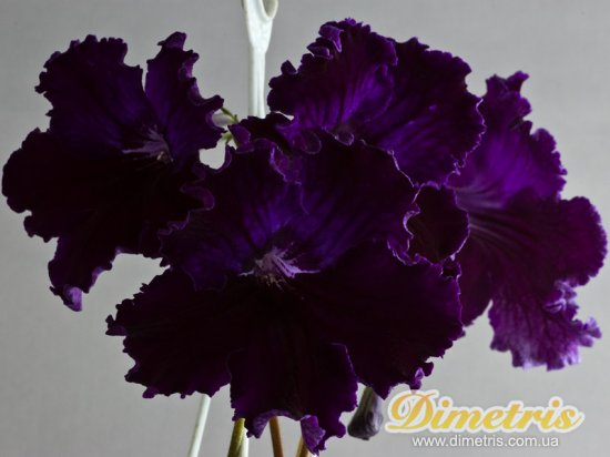 Selected Dimetris varieties DS-Siberia (Dimetris, 2009)